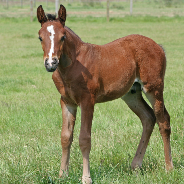 """""""Thoroughbred Foal"""" stock image"""