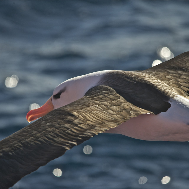 """Antarctic Albatross"" stock image"