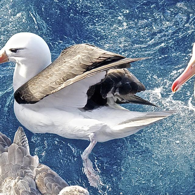 """Petrel and Albatross"" stock image"