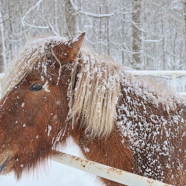 """""""Icelandic Horse (Equus ferus caballus)"""" stock image"""