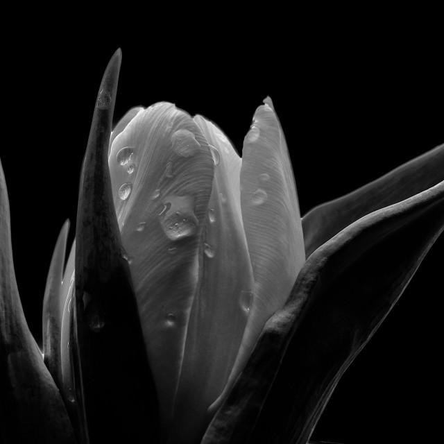 """Tulip Flower Love"" stock image"