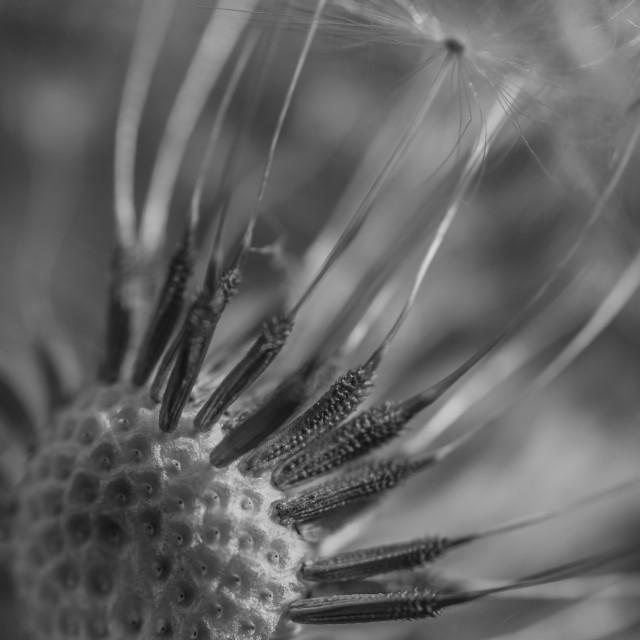"""The Dandelion Macro Black and White"" stock image"