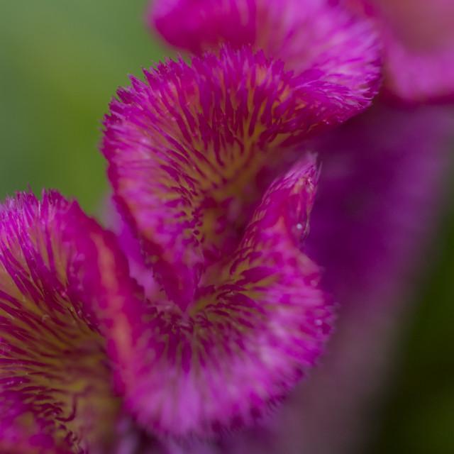 """Celosia Flower in Macro"" stock image"