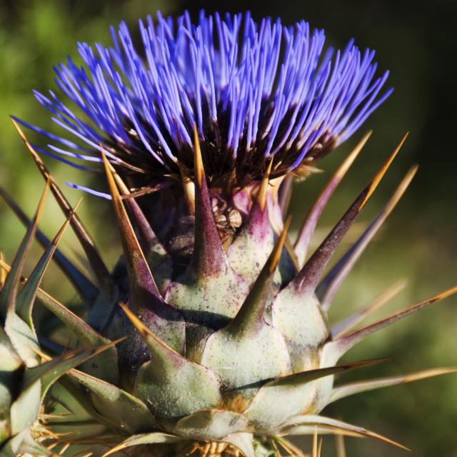 """Maltese Purple Star Thistle - Asteraceae"" stock image"