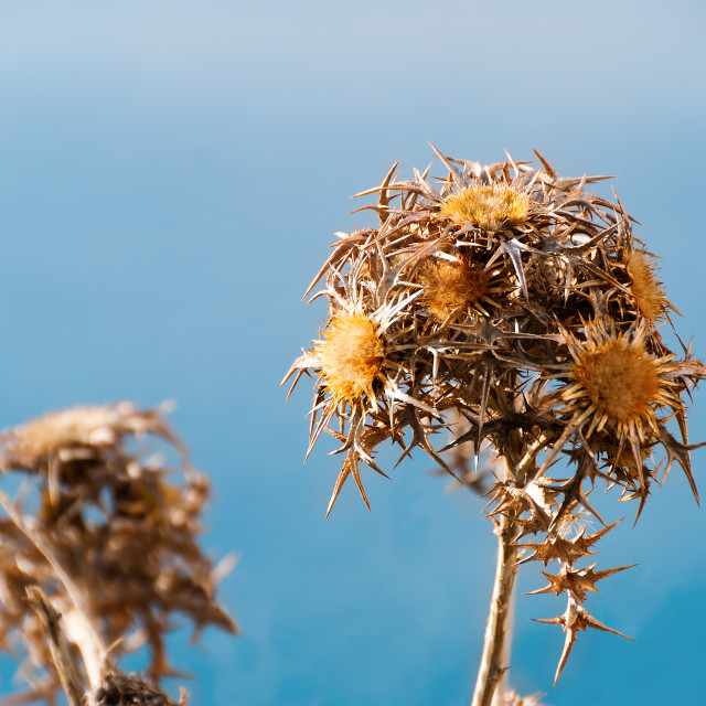 """""""Dried Thistles against the blue sky"""" stock image"""