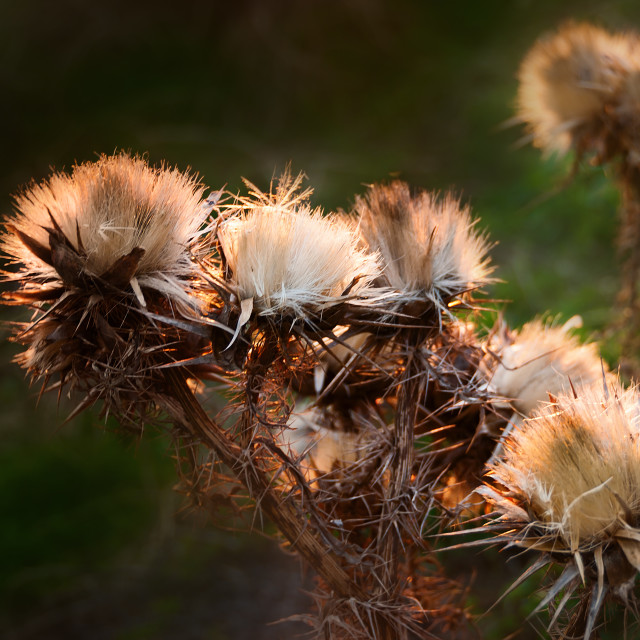 """Dried wild Thistle Flower in Sunset Glow"" stock image"