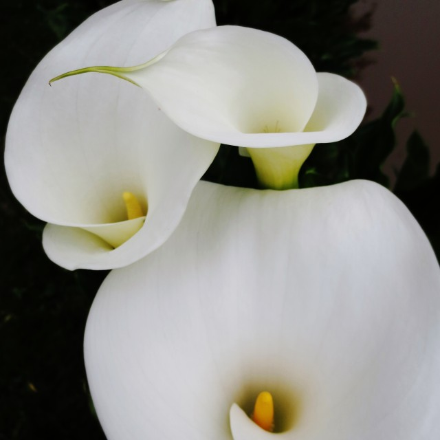 """""""Lilies flowers"""" stock image"""