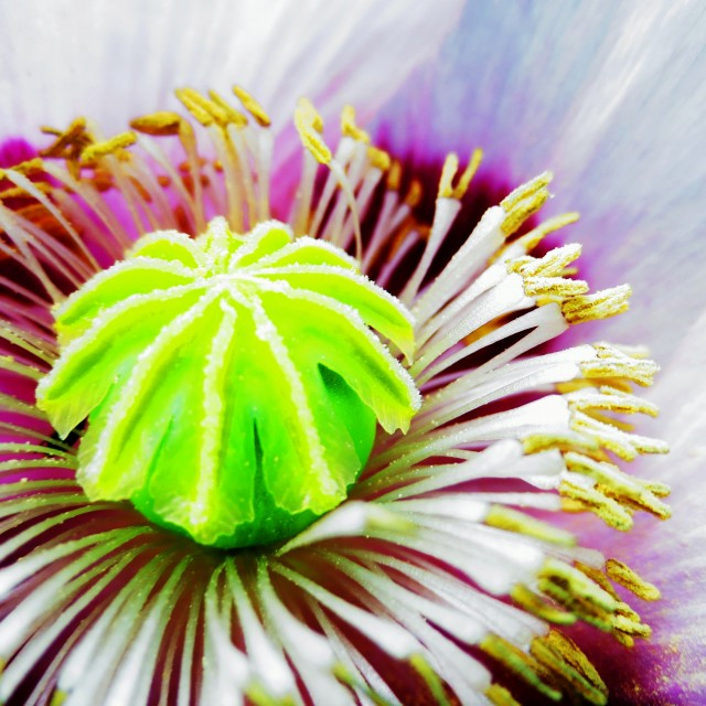 """Electric poppy flower"" stock image"