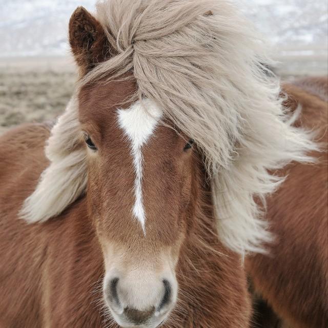"""""""Icelandic Horse (Equus ferus caballus) closeup"""" stock image"""
