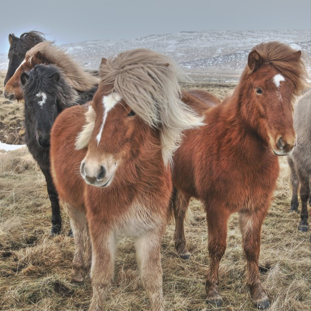 """""""Group of Icelandic Horses (Equus ferus caballus)"""" stock image"""