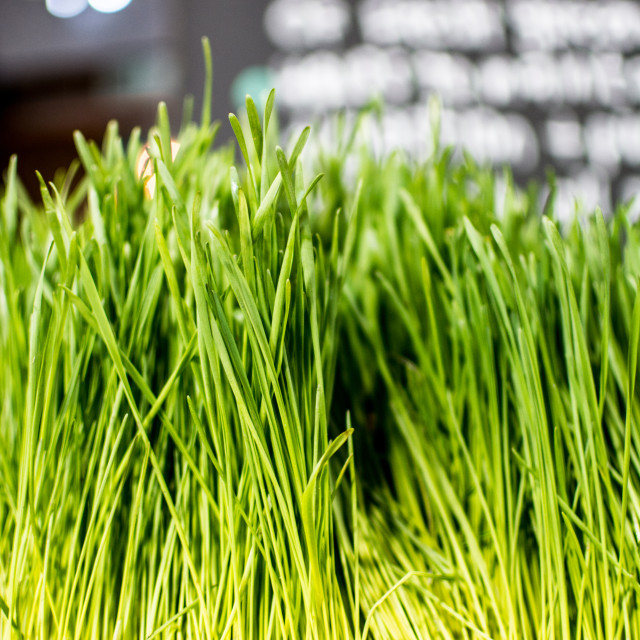 """Wheat Grass"" stock image"
