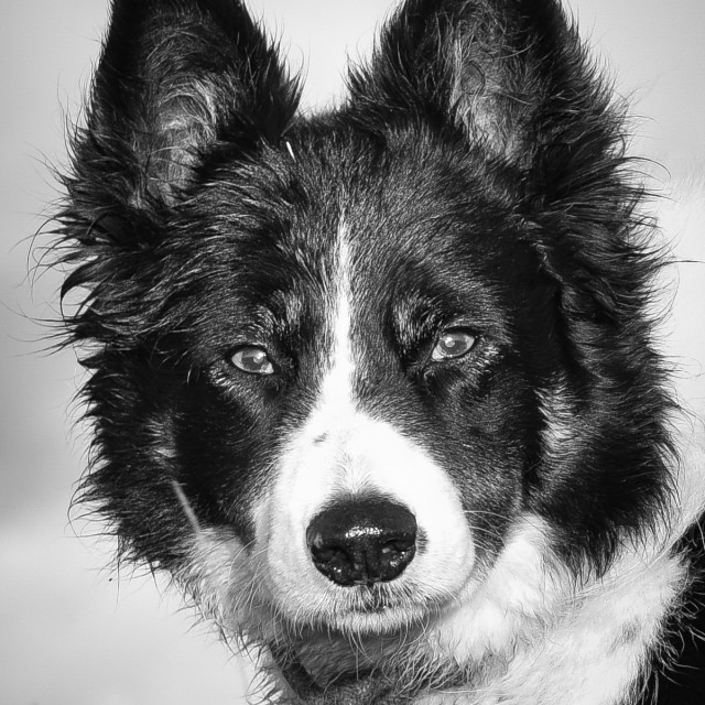 """Border Collie"" stock image"
