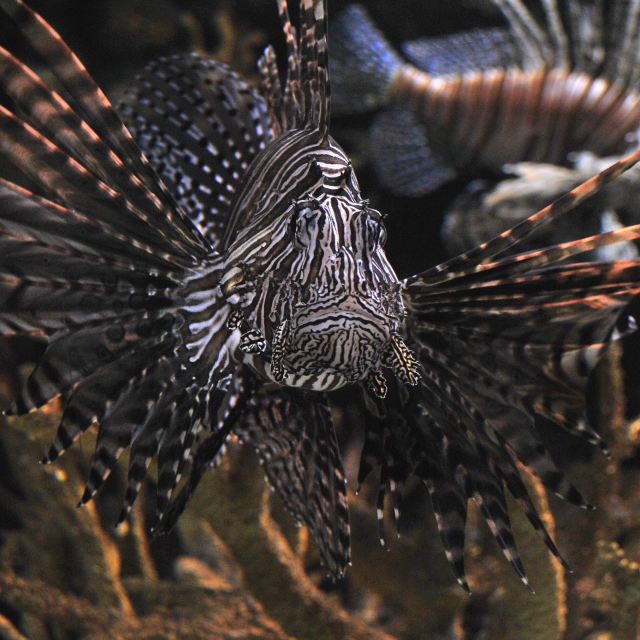 """Lion Fish"" stock image"