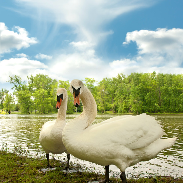 """swans on a lake shore"" stock image"