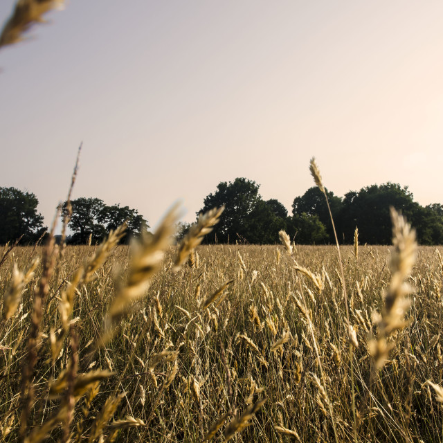"""Crops in the Sunset"" stock image"
