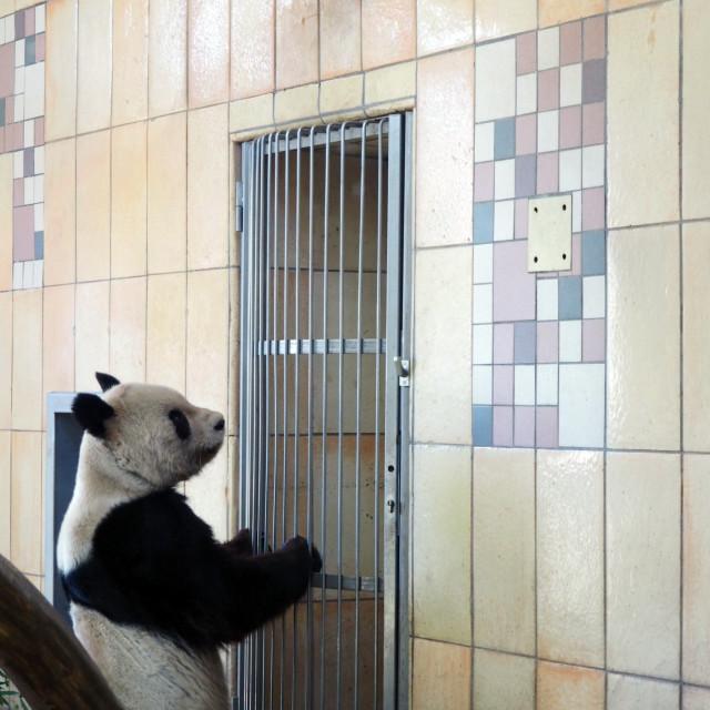 """Trapped Panda"" stock image"