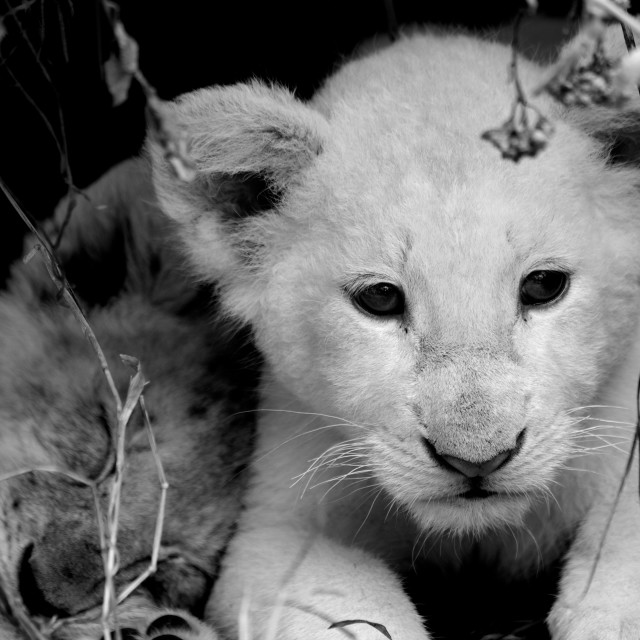 """""""White Lion Cubs"""" stock image"""