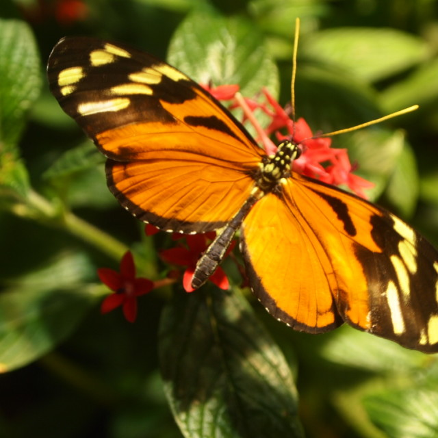 """""""Smithsonian butterfly I"""" stock image"""
