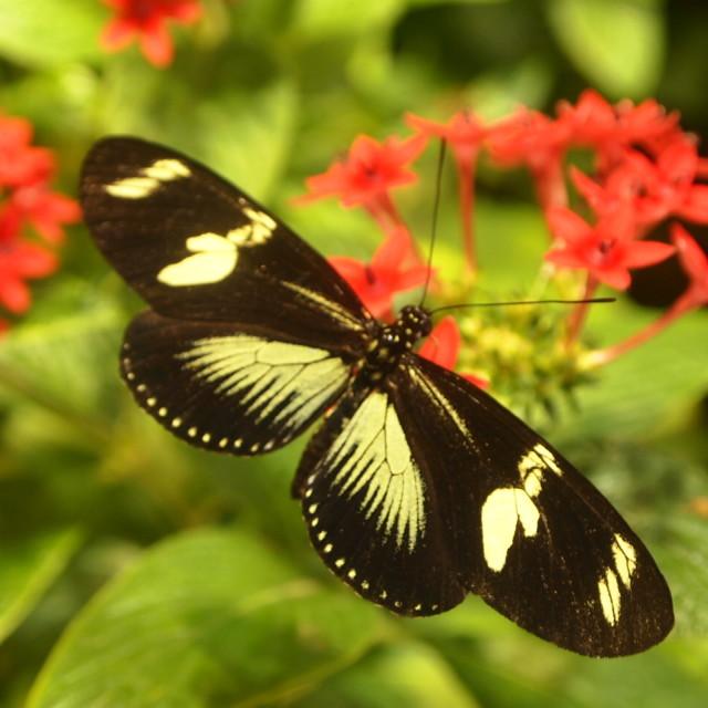 """""""Smithsonian butterfly II"""" stock image"""
