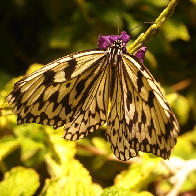 """""""Smithsonian butterfly III"""" stock image"""