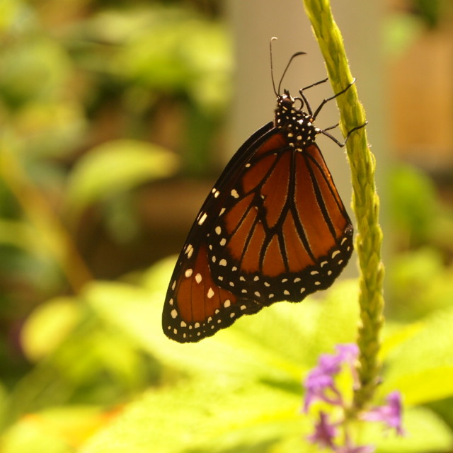 """""""Smithsonian butterfly IV"""" stock image"""