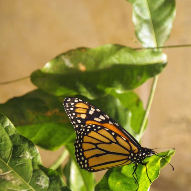 """Smithsonian butterfly V"" stock image"