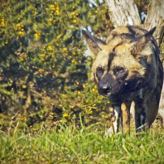 """African wild dog"" stock image"