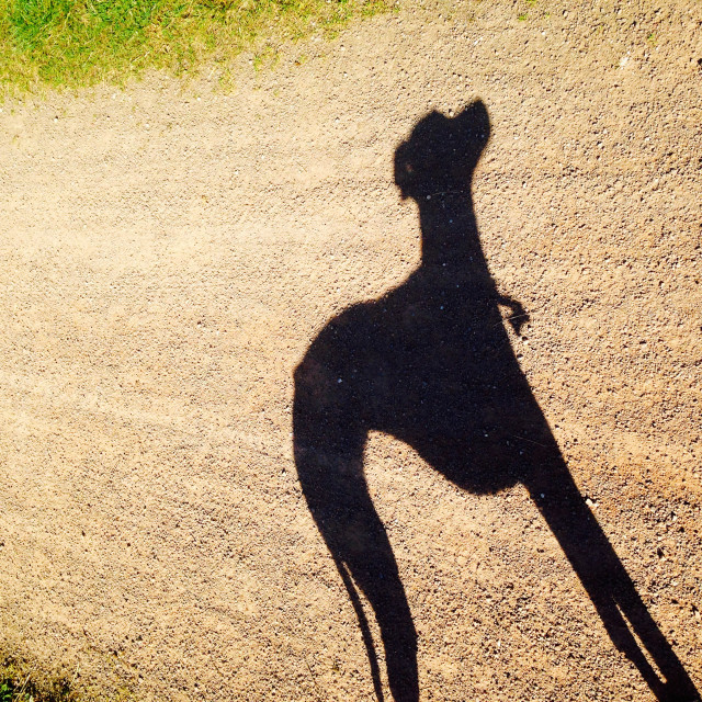 """Whippet Shadow"" stock image"