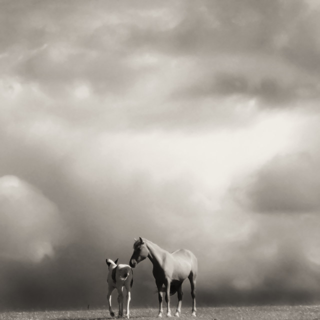 """""""Two horses on the hill"""" stock image"""