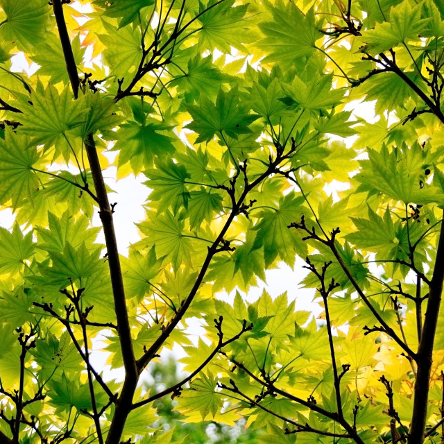 """Japanese maple leaves"" stock image"