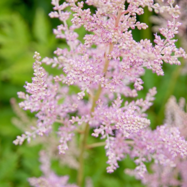 """""""Feathery pink Astilbe flowers."""" stock image"""