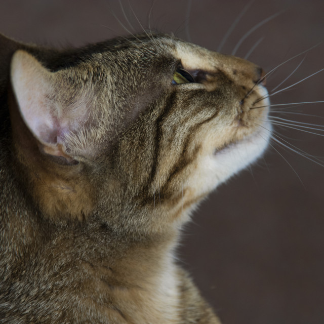 """""""Bengal Cat- Some of that better be for me"""" stock image"""