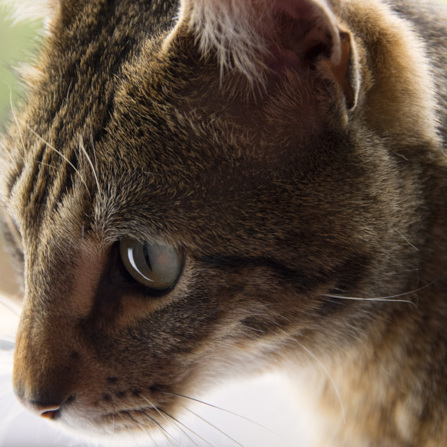 """""""Bengal Cat- If it moves again its mine"""" stock image"""