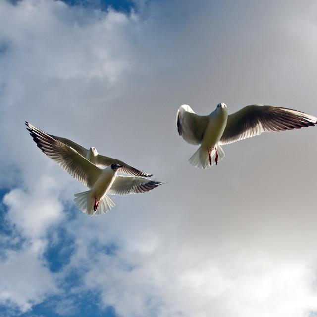 """Gulls on wing"" stock image"