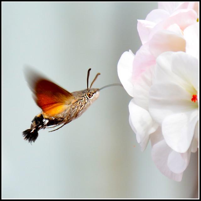 """Hawk Moth"" stock image"