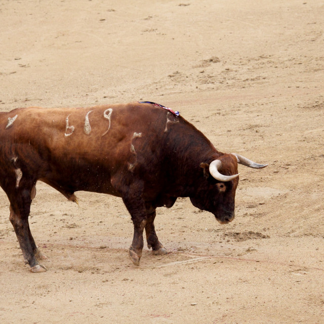 """Spanish Bull"" stock image"