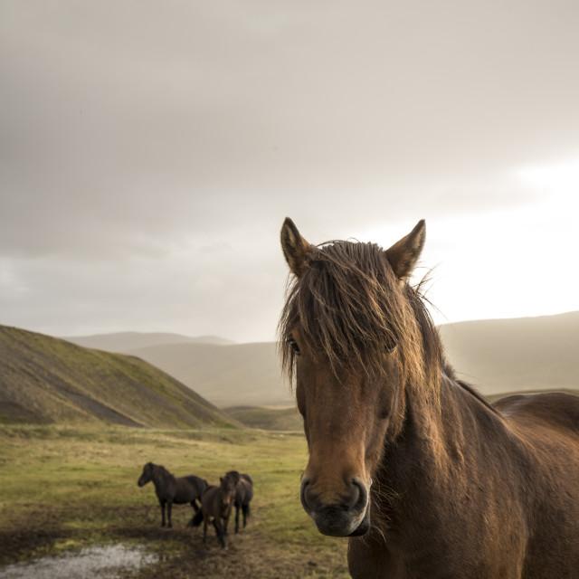 """Wild horses, Icealand"" stock image"