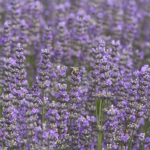 """Lavender Farm"" stock image"