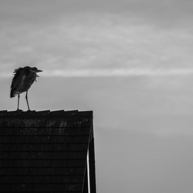 """Rooftop Heron"" stock image"