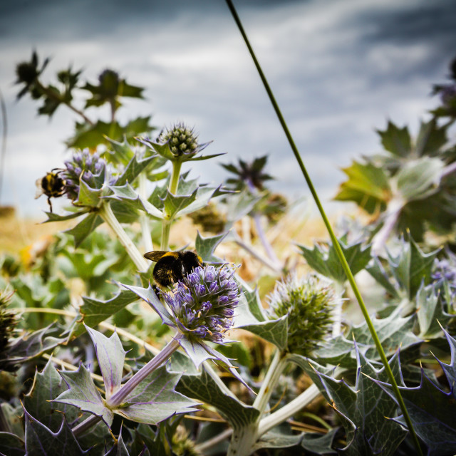 """""""Thistle with a Bee"""" stock image"""