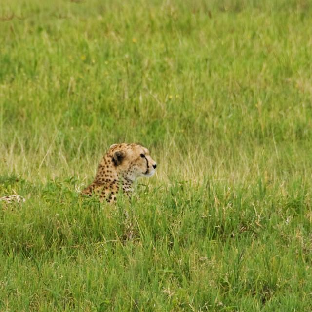 """leopard's head"" stock image"
