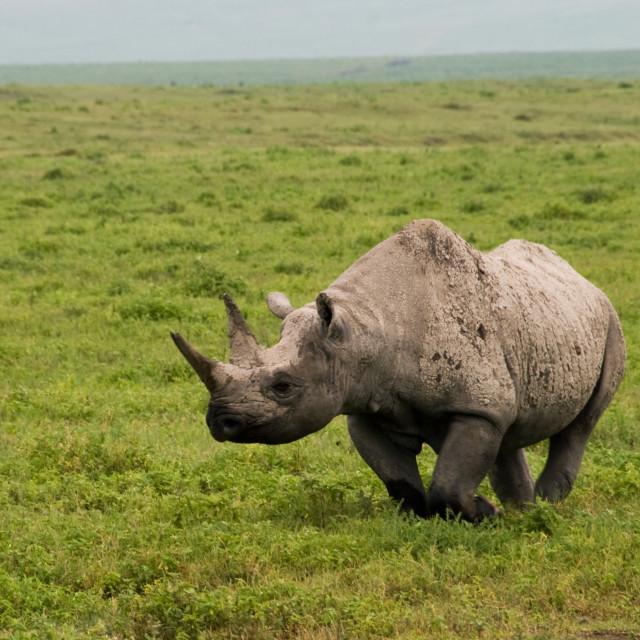 """""""Black Rhino in Ngorongoro Crater"""" stock image"""