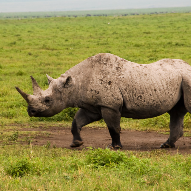 """Black Rhino"" stock image"