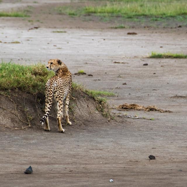 """Leopard stalking.."" stock image"