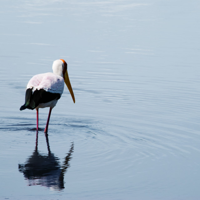 """""""White bird wading in shallow waters"""" stock image"""