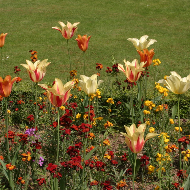 """Tulips - Jardin des Plantes"" stock image"