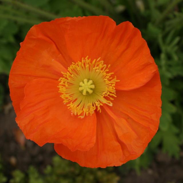 """""""Orange flower, Jardin des Plantes, Paris"""" stock image"""