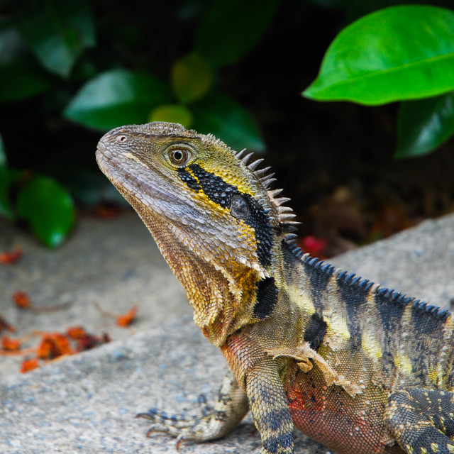 """Serene lizard"" stock image"
