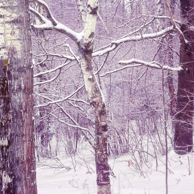 """""""Winter Forest"""" stock image"""