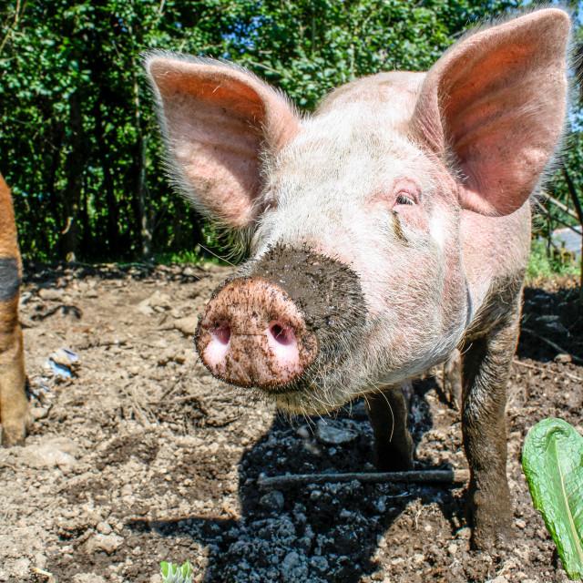 """Pink Pig Free Range - portrait"" stock image"